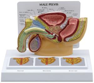 GPI Anatomicals® Male Pelvis with 3D Prostate Frame