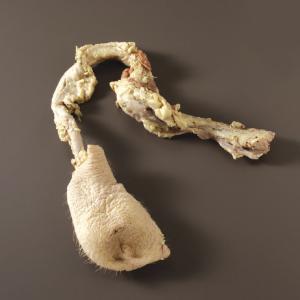 Preserved Boar Reproductive Organs
