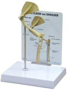 GPI Anatomicals® Feline Elbow / Shoulder