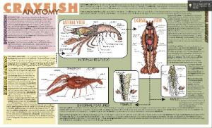 Crayfish Dissection Placemat