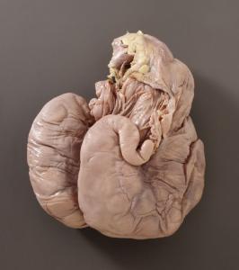 Sheep Uterus, Pregnant