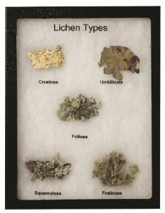 Lichens Riker Mount