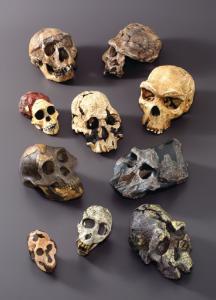 BoneClones® Hominids Skull Series