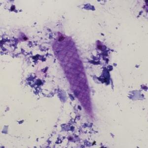 Termite Flagellates Slide