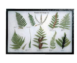 Common Fern Fronds Riker Mount