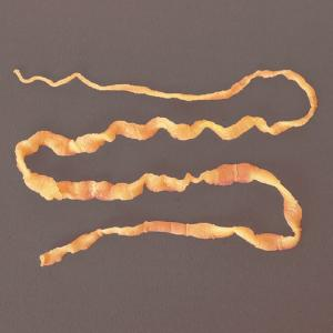 Preserved Dog Tapeworm