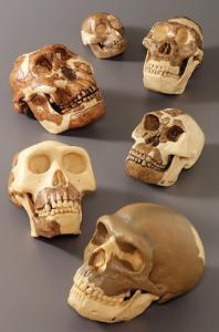 Somso® Hominids Skull Restoration Series