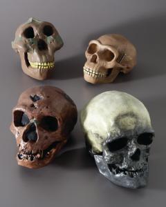 3B Scientific® Introductory Hominids Skull Restoration Series