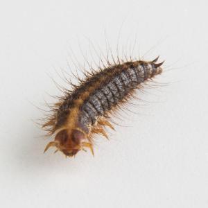 Ward's® Live Dermestid Beetles (Dermestes sp. )
