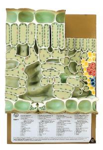 Somso® Deciduous Leaf Section Model
