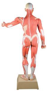 Eisco® Muscular Anatomy Figure