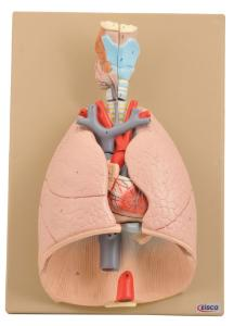 Eisco® Respiratory System And Heart
