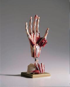 Somso® Comprehensive Hand Model