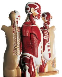 Denoyer-Geppert® Multi-Torso Muscular Torso Models