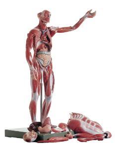 Somso® Full-Figure Muscular Human Anatomy Model
