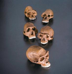 Homonid Cranium and Maxilla Restoration Series