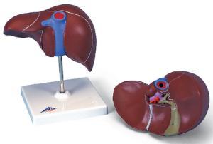 3B Scientific® Liver Model With Gallbladder
