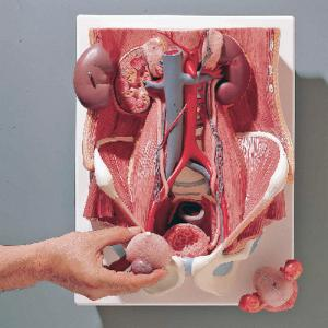 3B Scientific® Dual Sex Urinary System