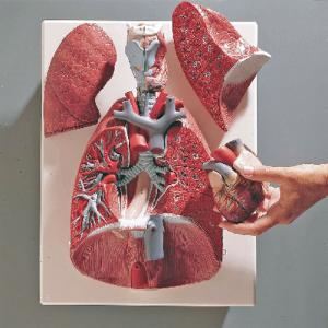 3B Scientific® Thoracic Organs Model