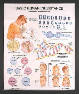 Denoyer-Geppert® Basic Human Inheritance Chart