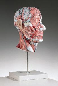 3B Scientific® Half-Head With Musculature