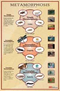 Ward's® Insect Metamorphosis Poster