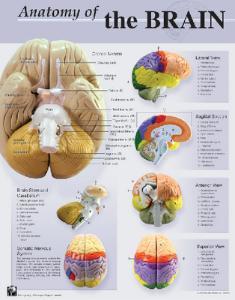 Denoyer-Geppert® Human Anatomy Charts