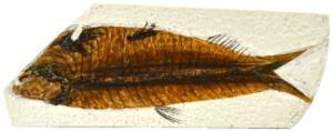 Fossil replica, fish