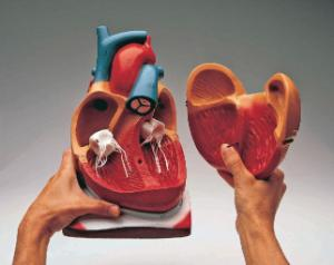Denoyer-Geppert® Giant Heart Model