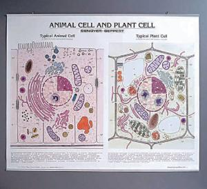 Denoyer-Geppert® Animal Cell and Plant Cell Chart