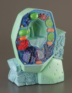 3B Scientific® Plant Cell Model