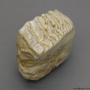 BoneClones® Replica Teeth