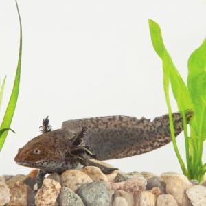 Ward's® Live Mexican Axolotl (<i>Ambystoma mexicanum</i>)