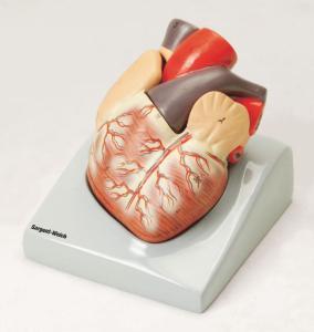 Eisco® Human Heart