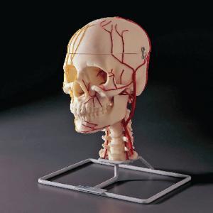 Neuro-Vascular Skull