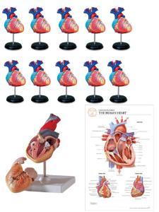 Heart models classroom bundle