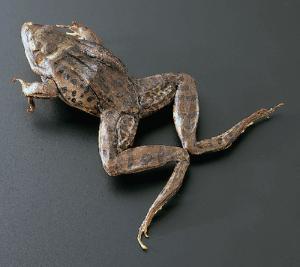 Freeze-Dried Grassfrogs