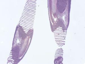 Fish, Gill Slide