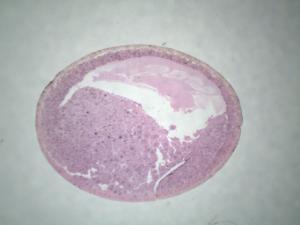Ward's® Frog Embryology Slide Series