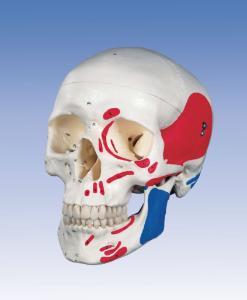 3B Scientific® Classic Painted Human Skull Model