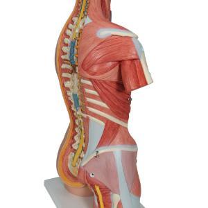 Model Muscular Open Back Torso