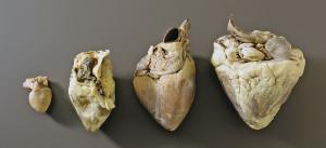 Ward's® Comparative Heart Collection