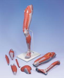 3B Scientific® Muscled Leg