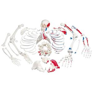 Disarticulated Skeleton- Painted