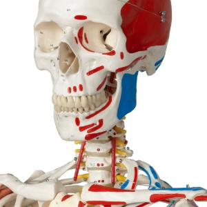 Flexible Ligamentary Painted Skeleton - Ring Mount