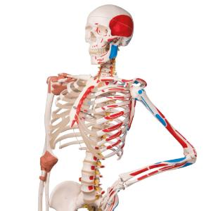 Flexible Ligamentary Painted Skeleton - Rod Mount