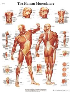 3B Scientific® Anatomical Chart: Muscular System