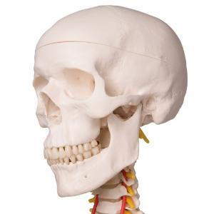 Flexible Skeleton with Roller Stand