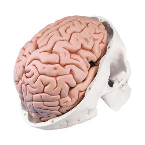 Skull with Five Part Brain