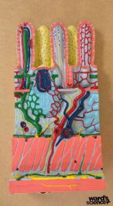 Ward's®  Intestinal Wall Model